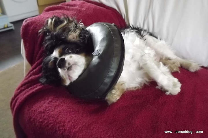 No Elizabethan collar here - Comfy collar