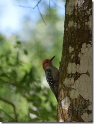 Woodpecker-3