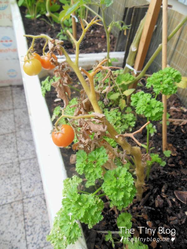 Urban Balcony Vegetable Garden September 2015 Woluwe-Sint-Lambrecht