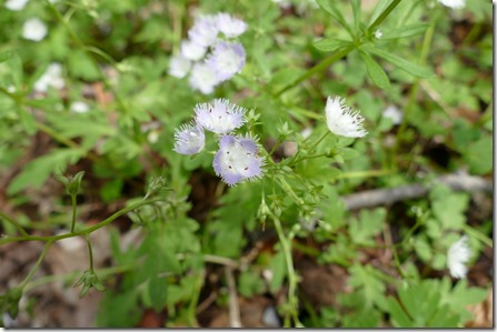 townsend_chimneys_trl_fringed_phacelia