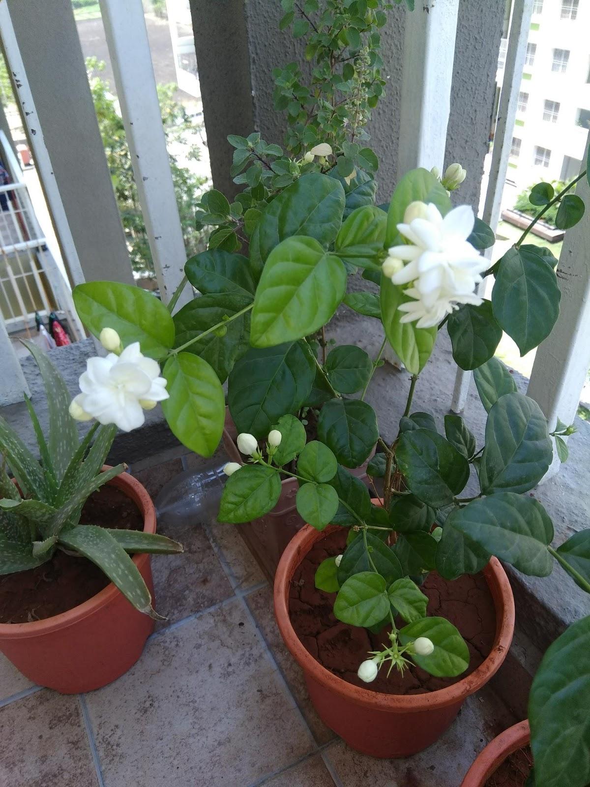 ravi s online diary mogra plant with mogra flowers