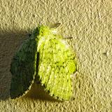 Lasiocampidae : Euglyphis sp.? Valle de las Minas, Hornito, cordillère de Talamanca, 1100 m (Chiriquí, Panamá), 27 octobre 2014. Photo : J.-M. Gayman