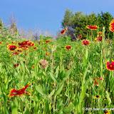05-26-14 Texas Wildflowers - IMGP1396.JPG
