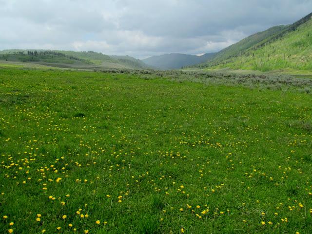 Dandelions in Scad Valley