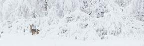 TABLEAU BLANC   Chevreuil dans une tourbière boisée de la vallée de l'Orbe. En hiver, les herbivores peuventl manger les pousses d'arbres tombées au sol, alourides par le poids de la neige.