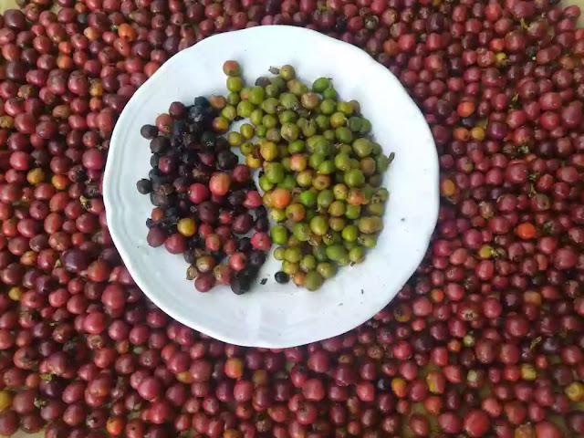 Cara mengolah kopi robusta Mang Enjang dengan cara sederhana