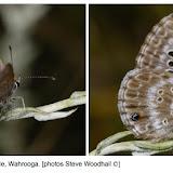Orachrysops ariadne BUTLER, 1898, mâle. Photo : http://www.biodiversityexplorer.org/butterflies/lycaenidae/orachrysops.htm