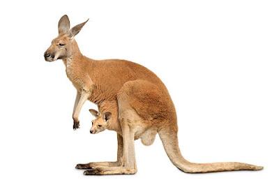 Kangaroo (कंगारू) | कंगारू से जुड़े रोचक तथ्य