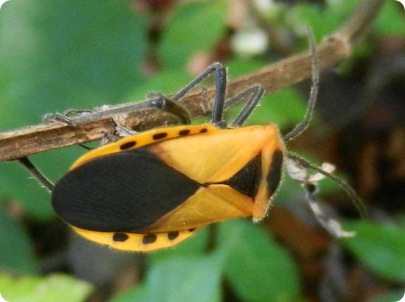 23 Withlacoochee Trail -Giant Milkweed Bug Sephina gundlachii (1)