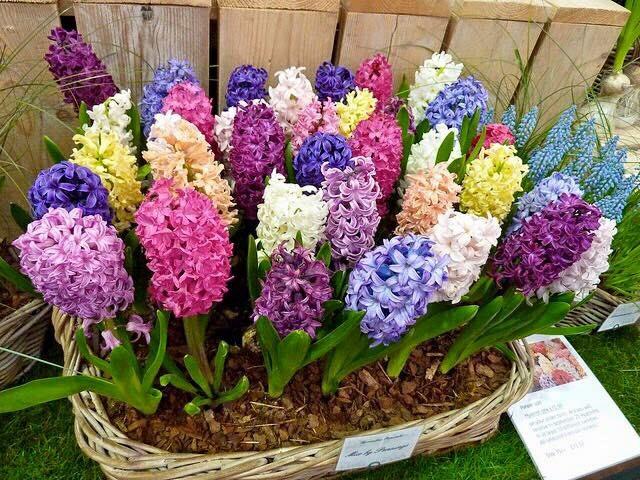 Cihoroku Garden Cara Tanam Bunga Hyacinth Di Dataran Rendah