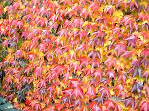 Photo: Hera de Inverno ou Falsa Vinha ( Parthenocissus tricuspidata )  Cor outonal