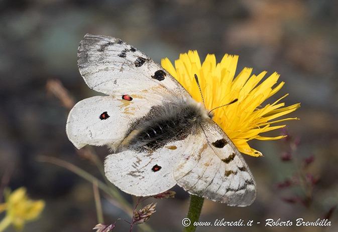 15-2017-07-27_Parnassius-phoebus_Valmalenco_005