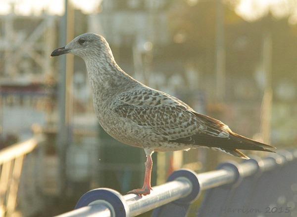 20-gull