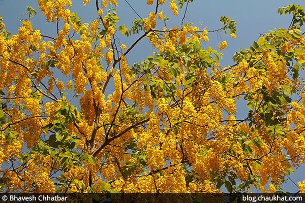 Bahava AKA Amaltas, Cassia fistula, Golden Shower Tree, Garmalo, Bandar Lathi, Sunari, Aragvadha, Chaturangula, Kritamala, Suvarnaka