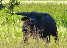 """Same young bull from previous photo, he has now noticed us. We are in the shadows of some trees on the edge of the floodplains. Sometimes you can almost see what they are thinking from the expression on their face. This bull is not aggressive at all. He is thinking... """"Oh shit!!"""""""