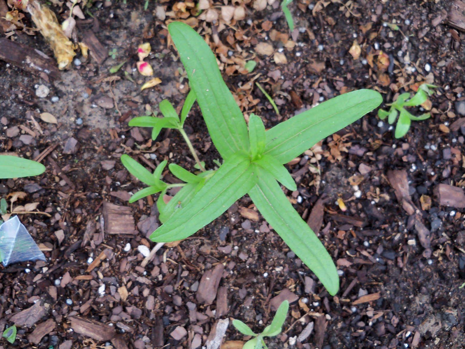 Gardening 2010 - 101_1177.JPG