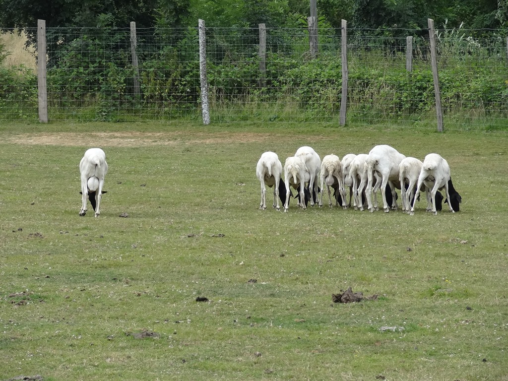 [2018.07.19-026-moutons-de-Somalie4]