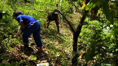 Pandemi Covid-19,   Mempengaruhi Pendapatan  Petani Coklat di TMMD Kodim Tapsel