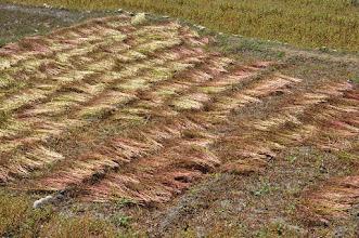 Photo: Les champs de sarrazin de Tangbe