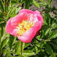 Roselette 20-05-2015