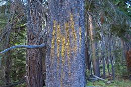 Bear markings