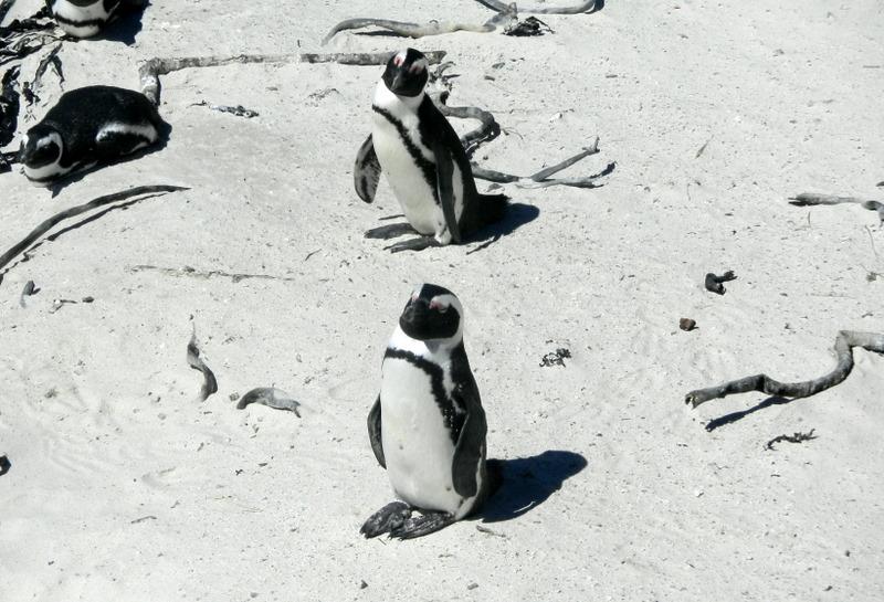 Jack Ass Penguins on Boulder Beach