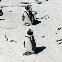 Jack Ass Penguins on Boulder Beach