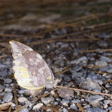 Dismorphiinae : Lieinix nemesis LATREILLE, [1813], mâle. Vallée de Kosñipata, nov. 2009. Photo : B. H. Purser