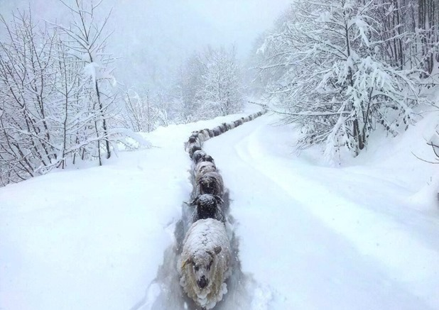 sheep-snow-path