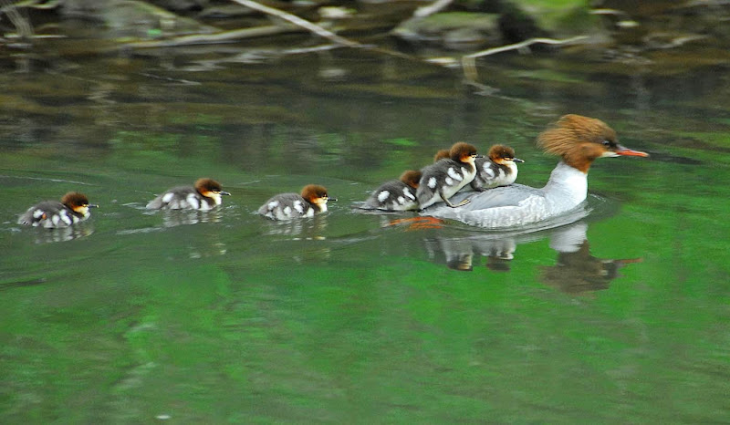 Goosander with chicks - Dave S