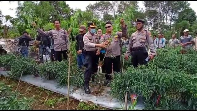 Polsek Bengko bersama  Sat Narkoba Polres Rejang Lebong telah mengungkap  perkara Tindak Pidana Narkotika jenis Ganja.