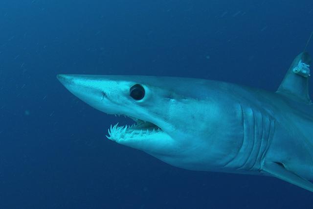 A satellite-tagged shortfin mako shark. Photo Credit: George Schellenger