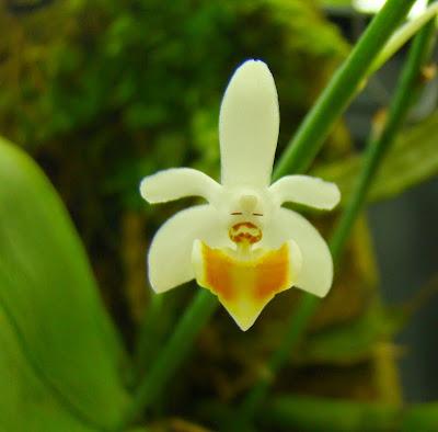 Phalaenopsis Sacha DSC01666
