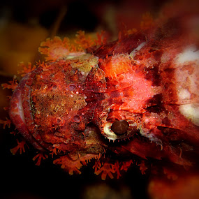 The Eye of Rock Fish by Kusbian Indradi - Animals Fish