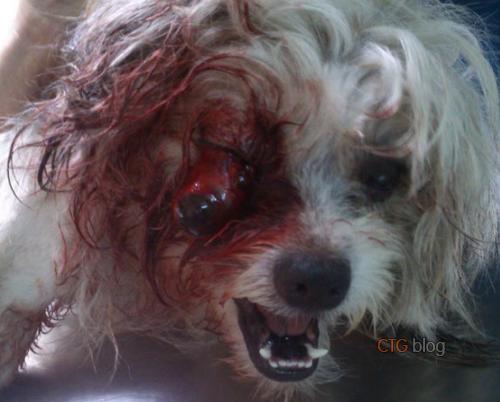 Phẫu thuật nhét mắt, may đóng mắt ở chó