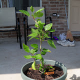 Gardening 2010 - 101_1740.JPG
