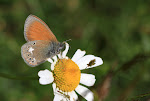 Coenonympha glycerion, iphioides.jpg