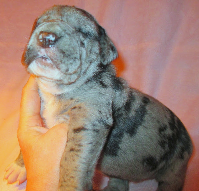 Available blue merle female @ 2 weeks