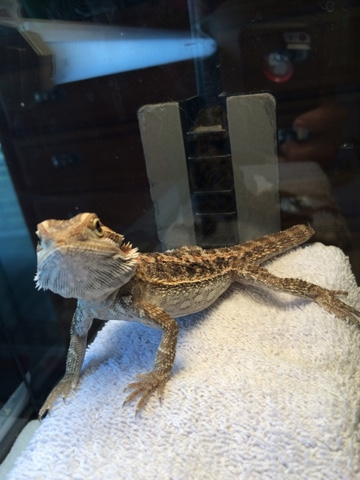 how to take my bearded dragon to the vet
