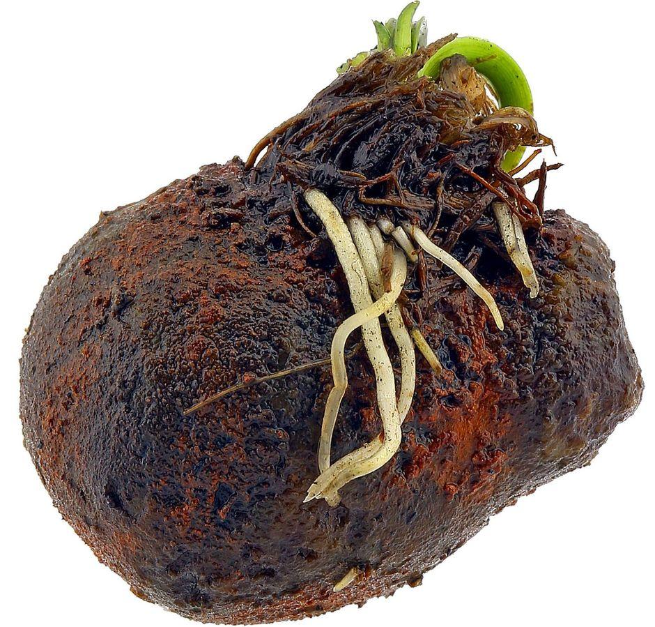 Апоногетон ульвовидный (Aponogeton ulvaceus)