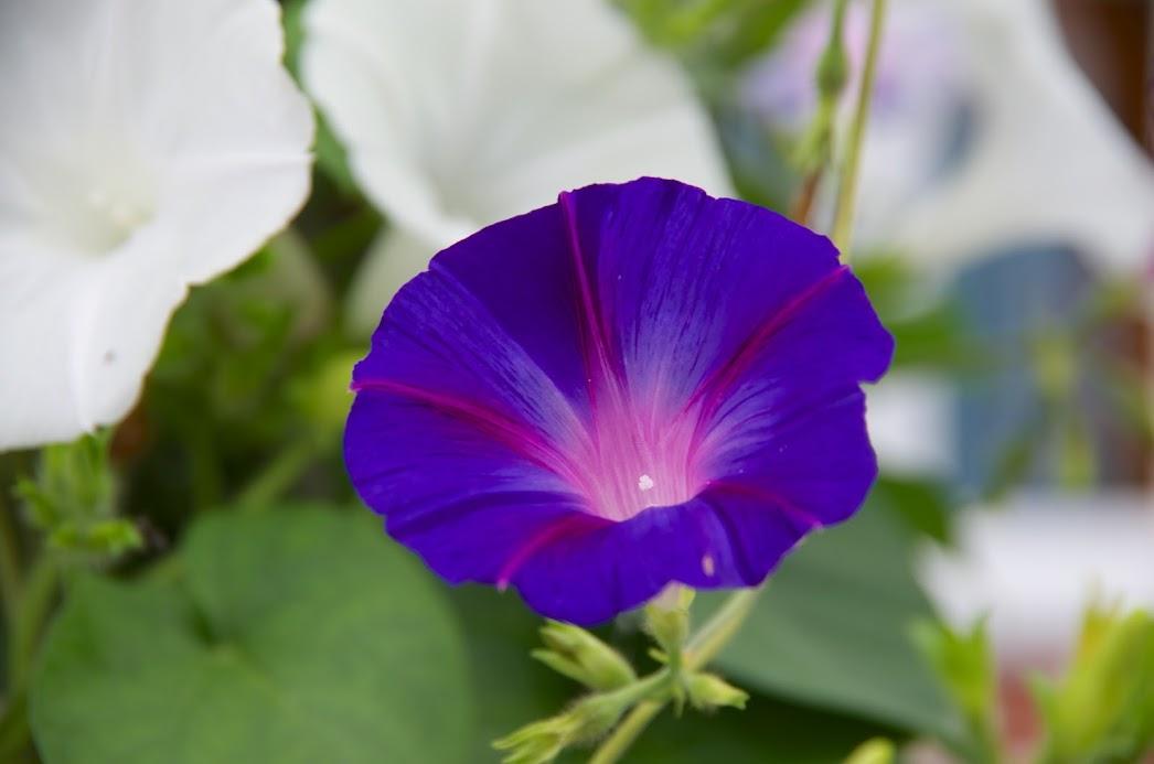 紫色のアサガオ