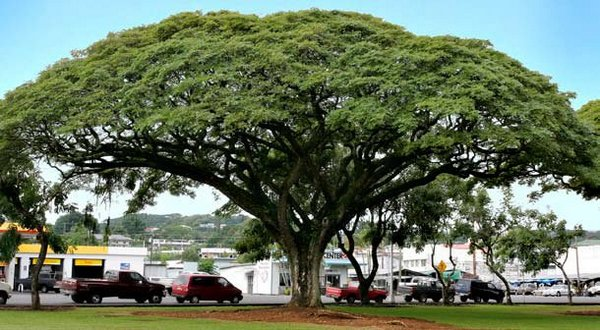 Pohon-pohon trembesi di sepanjang jalur pantura jawa tengah