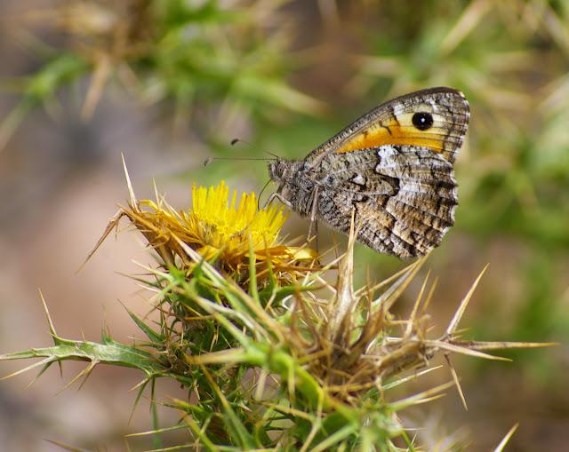 Hipparchia aristaeus BONELLI, 1826, mâle. Col de Bacinu (800 m), Corse du Sud, août 2006. Photo : J.-M. Gayman