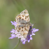 Carcharodus alceae (Esper, 1780), ♀. Les Hautes-Courennes (500 m), Saint-Martin-de-Castillon (Vaucluse), 18 juin 2015. Photo : J.-M. Gayman