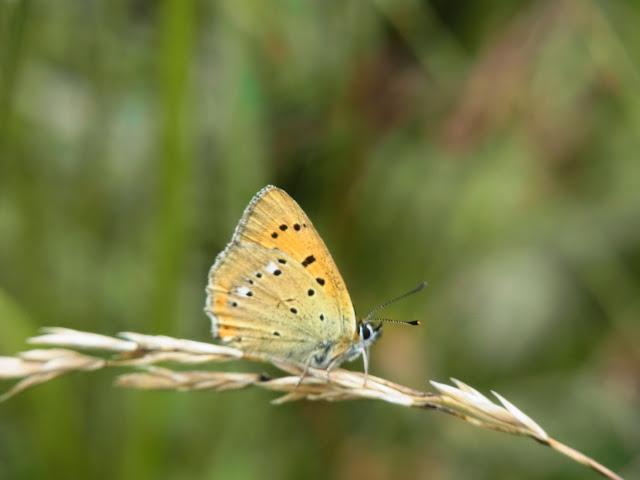 Lycaena (Heodes) virgaurae (L., 1758), mâle. Pentes au NE de Cheget (Terskol), 2000 m (Kabardino-Balkarie), 11 août 2014. Photo : J. Michel