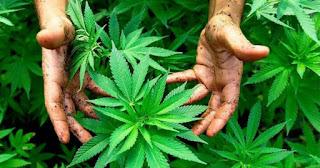 La culture de cannabis s'installe… Le kif, un plant qui pousse et qui kif