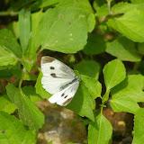 Pieris rapae yunnaensis MELL, femelle. Shaxi (Yunnan), 12 août 2010. Photo : J.-M. Gayman