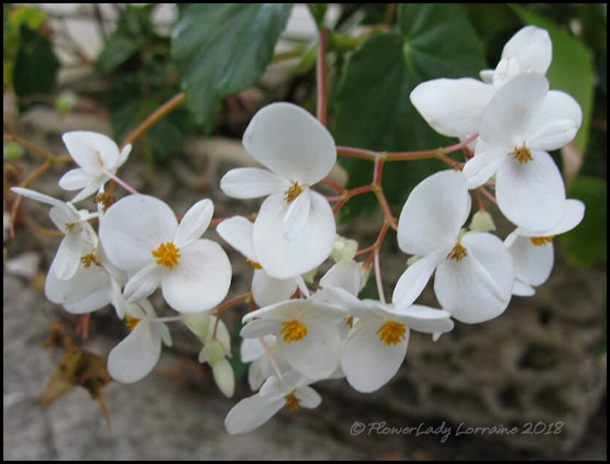 04-16-scented-begonia
