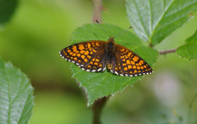 Mellicta athalia ROTTEMBURG, 1775, mâle. Les Hautes-Lisières (Rouvres, 28), 16 juin 2011. Photo : J.-M. Gayman