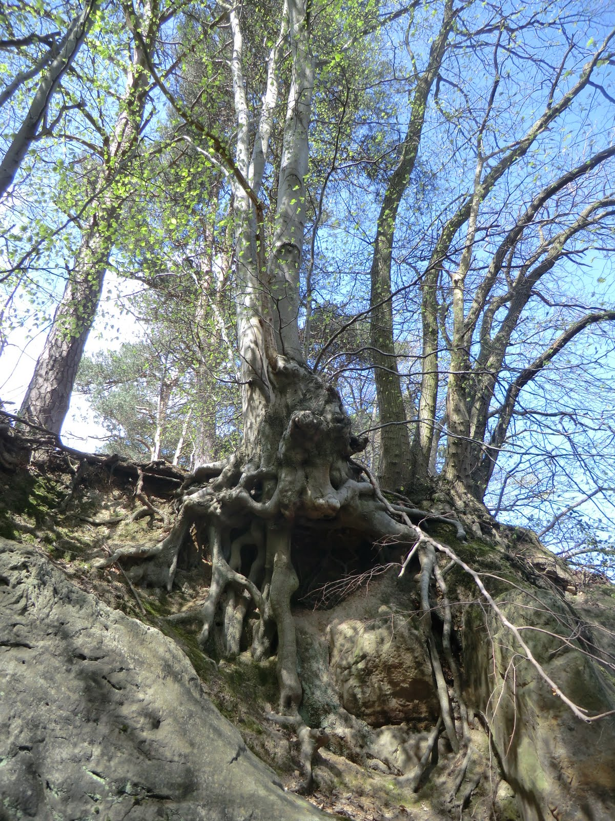 CIMG6328 Rocks and tree roots at Hoath Corner